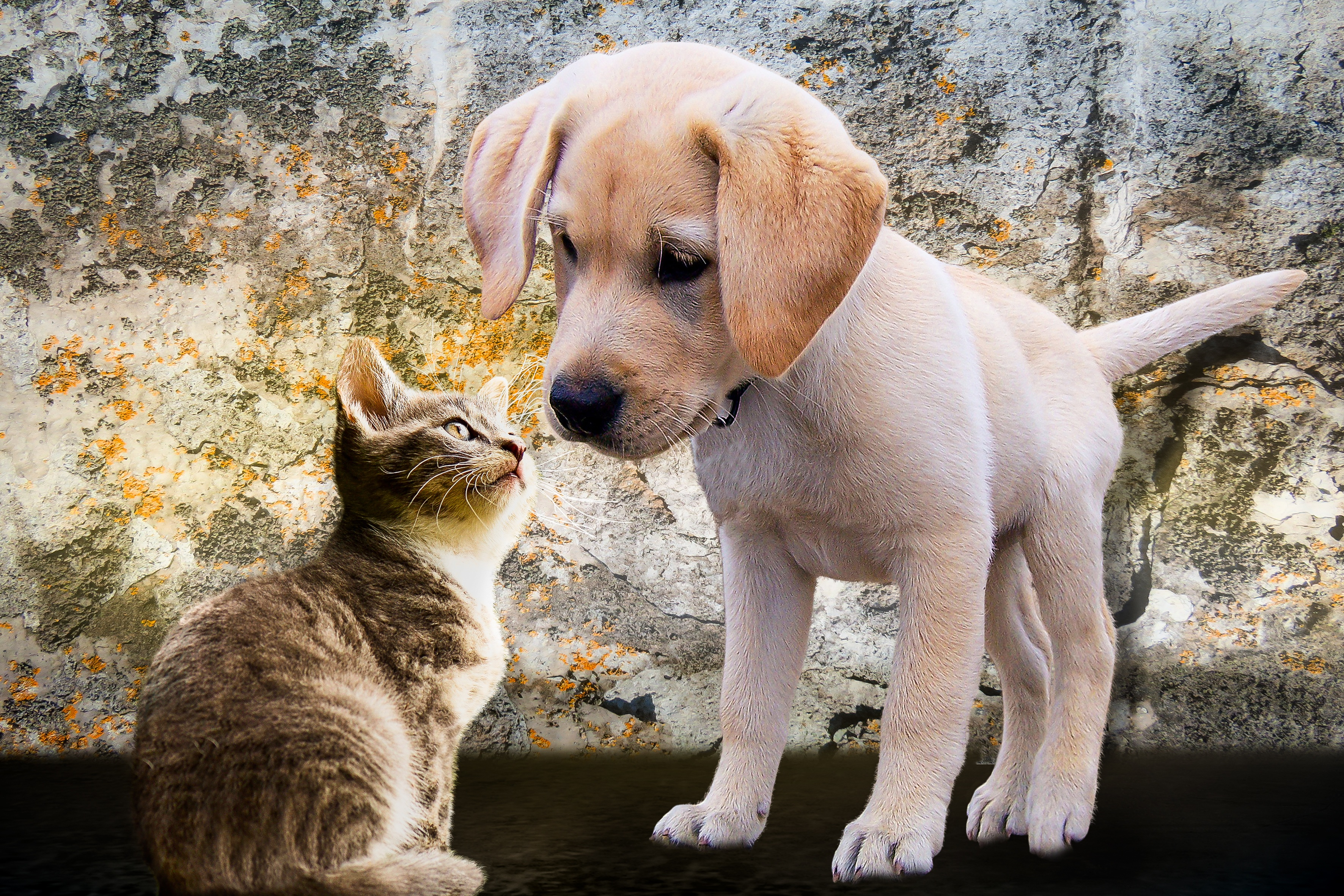 cat and dog kity